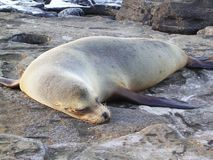 Sleeping sealion. Sleeping and sunbathing galapagos sea-lion. Dry with brown fur royalty free stock images