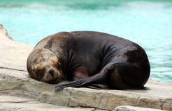 Sleeping sealion Stock Photo