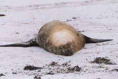 Sleeping sealion. Big fat male sealion sleeping on a sandy beach Stock Photography