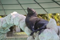 Sleeping Sealion Royalty Free Stock Photos