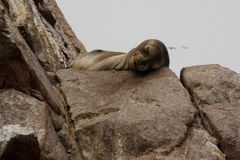 Sleeping sealion Stock Photography