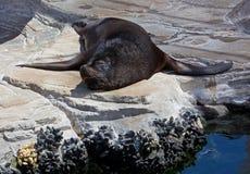 Sleeping Sealion. On the rocks Stock Photos