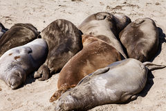 Sleeping seals Stock Photos