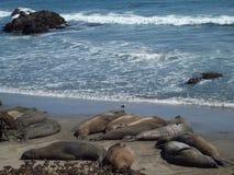 Sleeping Seals Stock Photos