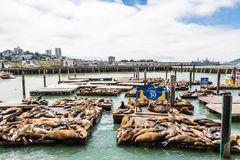 Sleeping Seals at Pier 39 Royalty Free Stock Photography