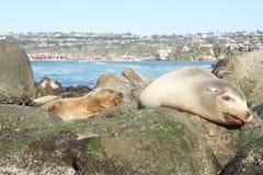 Sleeping seals. Seals sleeping on rocks in San Diego Royalty Free Stock Image