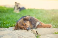 Sleeping shaggy dog on a sunny afternoon on green grass.  Royalty Free Stock Images