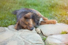 Sleeping shaggy dog on a sunny afternoon on green grass. Sleeping shaggy dog on a sunny day Stock Images