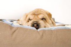 Sleeping sharpei pup Royalty Free Stock Photos