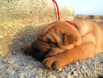 Sleeping sharpei puppy. Red sharpei puppy sleep on the beach in Herceg Novi, Montenegro. Evening october, 2014 Stock Photography