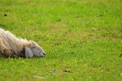 Sleeping sheep Stock Photos
