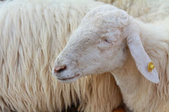A sleeping sheep Royalty Free Stock Image