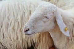 A sleeping sheep royalty free stock image