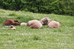 Sleeping sheep Stock Photos