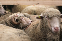 Sleeping sheep Stock Photography
