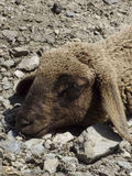 Sleeping sheep (Ovis aries) Royalty Free Stock Image