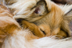 Sleeping sheltie. Furry dog sleeping on sofa Royalty Free Stock Photography