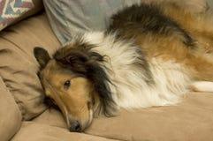 Sleeping Sheltie Stock Image