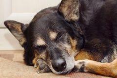 Sleeping shepherd dog Stock Photography