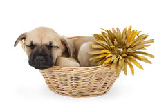 Sleeping shepherd puppy in a basket with flower Royalty Free Stock Photos