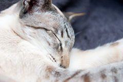 Sleeping Siamese cat Stock Photography