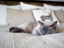 Sleeping Siamese Cat one Cream Sheets. Beautiful sleeping seal point Siamese cat on a bed with cream sheets and pillows stock photography