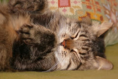 Sleeping Siberian cat Stock Image