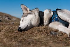 Sleeping siberian husky Royalty Free Stock Photos