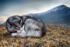 Sleeping siberian Husky Stock Image