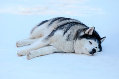 Sleeping  Siberian Husky dog black and white color in winter. Royalty Free Stock Image