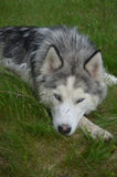 Sleeping Siberian Husky in Grass Stock Photography
