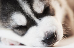 Sleeping Siberian husky puppy dogs Stock Photos