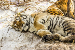 Sleeping Siberian Tiger in Harbin China Stock Image