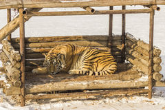 Sleeping Siberian Tiger in Harbin China Stock Photos