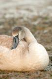 Sleeping signet. Sleeping swan signet on a stoney riverbank Royalty Free Stock Image