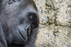 Sleeping silverback gorilla profile Royalty Free Stock Photo