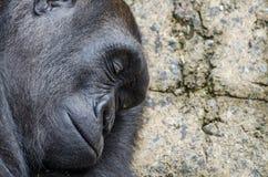 Sleeping silverback gorilla profile. Close up profile of a sleeping silverback gorilla Royalty Free Stock Photo