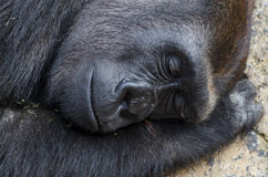 Sleeping silverback gorilla profile Stock Photo