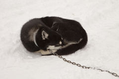 Sleeping Sled Dog With Chain Stock Image