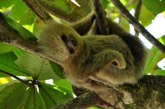 Sleeping sloth. Sleeping three toed sloth in a tree in Parque Nacional Manuel Antonio (Manuel Antontio National Park) Costa Rica Stock Images
