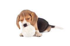 Sleeping small beagle Stock Images