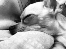 Sleeping Small Dog royalty free stock image