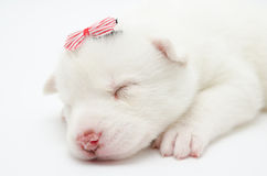 Husky puppy. Sleeping small white husky puppy, with striped hairslide Royalty Free Stock Photo