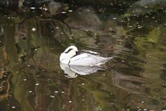 Sleeping smew. White smew male sleeping on the lake Royalty Free Stock Photography
