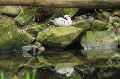 Sleeping smew. White smew male sleeping on the stone on the bank of a lake, reflecting on the water surface Stock Image