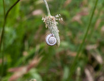 Sleeping snail on a plant. Summer Royalty Free Stock Photography