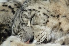 Sleeping Snow Leopard Royalty Free Stock Photos