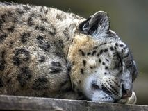Sleeping snow leopard Royalty Free Stock Images