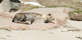 Sleeping spotted hyena Stock Photo