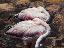 Sleeping standing flamingos Stock Image